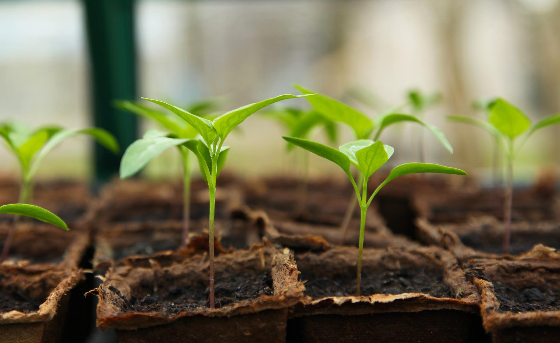 seedlings in planters